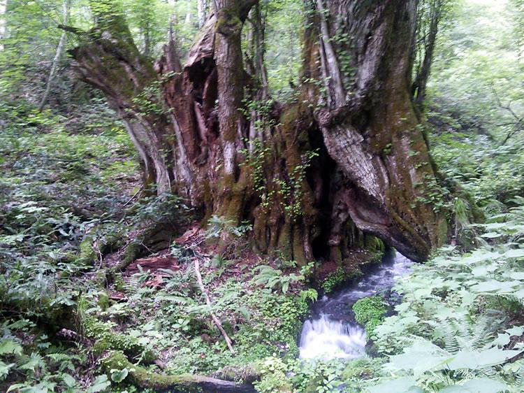 和池の大カツラ:千年水